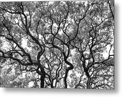 The Great Oak In Black And White Metal Print by Aimee L Maher Photography and Art Visit ALMGallerydotcom