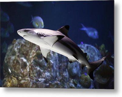 The Grey Reef Shark - Carcharhinus Amblyrhynchos Metal Print by Goyo Ambrosio
