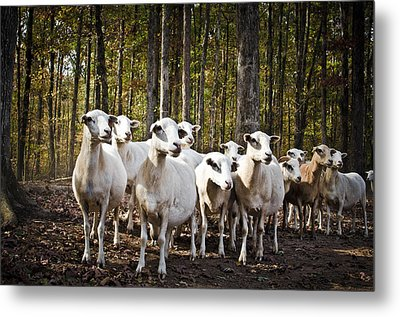The Herd Metal Print by Swift Family