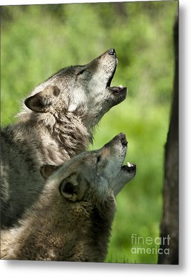 Metal Print featuring the photograph The Howling by Wolves Only