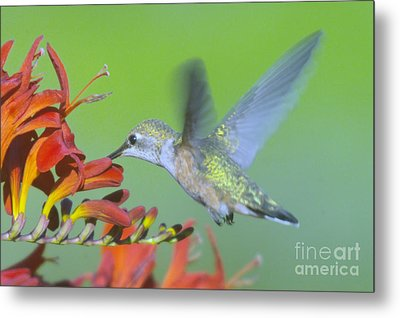 The Humming Bird Sips  Metal Print