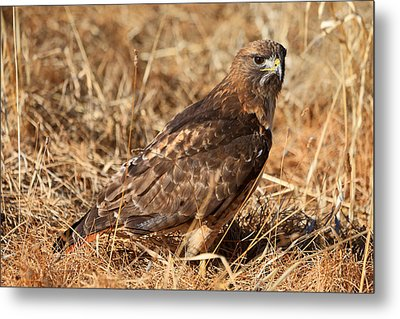 The Hunt 2 Metal Print by Donna Kennedy