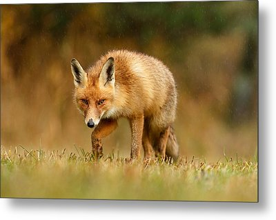 The Hunter In The Rain - Red Fox On A Rainy Day Metal Print