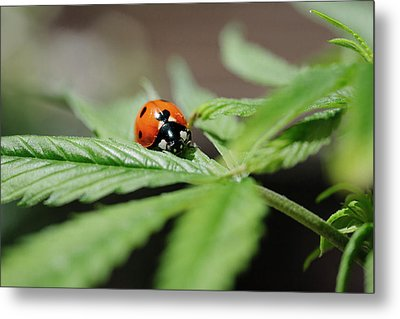 The Ladybug And The Cannabis Plant Metal Print by Stock Pot Images