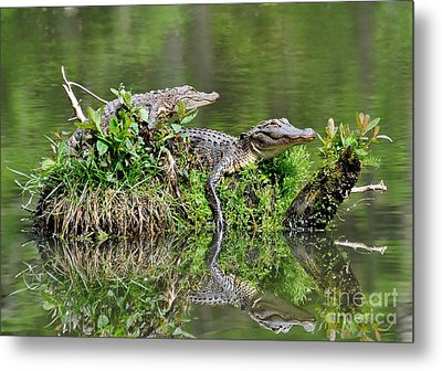 Metal Print featuring the photograph The Lazy Gators by Kathy Baccari