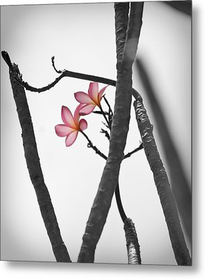 The Light Of Plumeria Metal Print by Chris Ann Wiggins