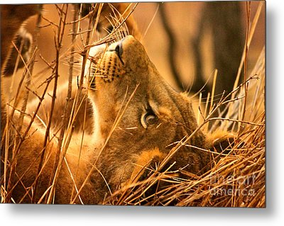 The Lion Muse Metal Print by Michael Cinnamond