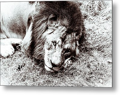 The Lion Sleeps Tonight Metal Print by Wade Brooks