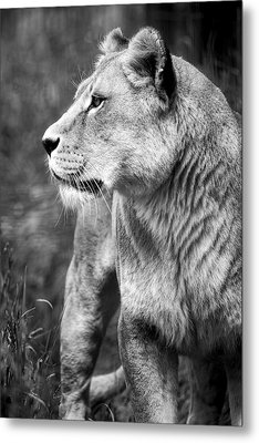 The Lioness Metal Print by Diane Dugas