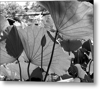 The Lotus Pond Metal Print by Larry Knipfing