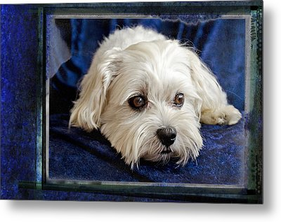 The Maltipoo Bailey On A Blue Background Metal Print by Harold Bonacquist