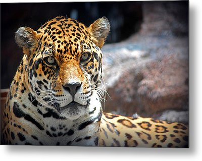 The Ole Leopard Don't Change His Spots Metal Print by Lynn Sprowl