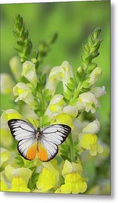 The Orange Gull Butterfly, Cepora Metal Print