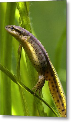 Metal Print featuring the photograph The Other Newt by Gene Walls