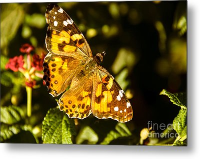 The Painted Lady Metal Print by Robert Bales
