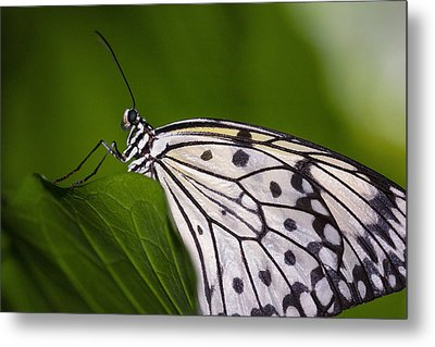 Metal Print featuring the photograph The Paper Kite Butterfly by Zoe Ferrie