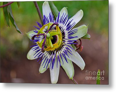 The Passion Flower Garden Metal Print by Janice Rae Pariza