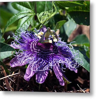 The Passion Flower Metal Print