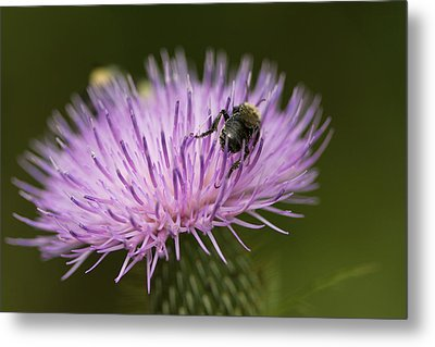 The Pollinator - Bee On Thistle  Metal Print by Jane Eleanor Nicholas