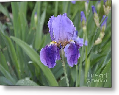 Metal Print featuring the photograph The Purple Iris by Cheryl McClure