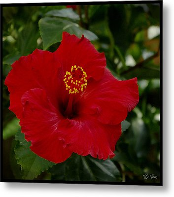 Metal Print featuring the photograph  Red Hibiscus by James C Thomas