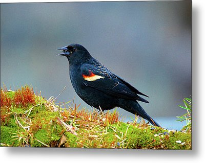 The Red-winged Blackbird (agelaius Metal Print by Richard Wright