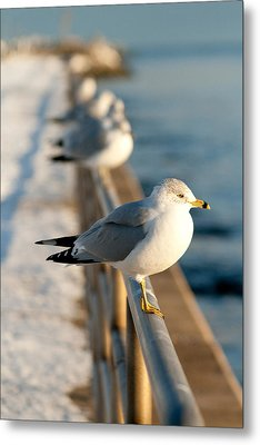The Ring-billed Gull Metal Print