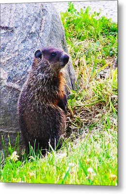 The Groundhog Sentinel Metal Print by Ron  Tackett