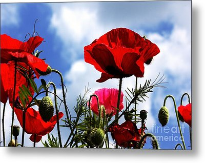 Metal Print featuring the photograph The Summer Poppy by Baggieoldboy