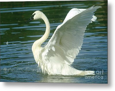 The Swan Rises  Metal Print by Jeff Swan