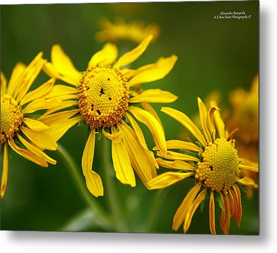 The Three Amigos Metal Print by Alexandra  Rampolla