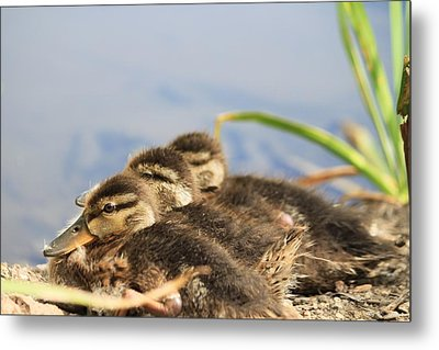 The Three Amigos Metal Print by Amy Gallagher