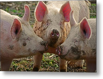 The Three Little Pigs Metal Print by Steven  Michael