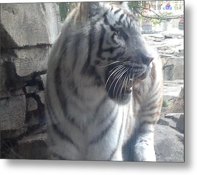 Metal Print featuring the photograph The Tiger Outside The Window  by Alan Lakin