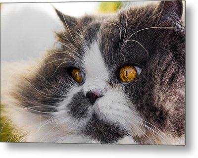 The Watching Cat Metal Print by Daniel Precht