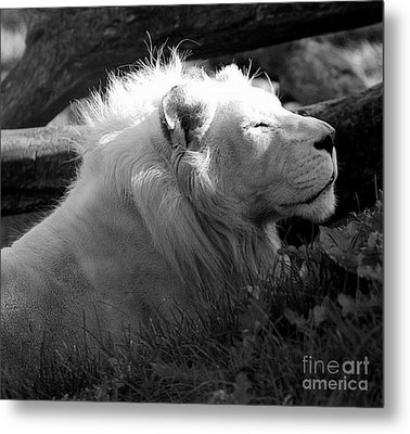 The White King Metal Print by Marcia Lee Jones