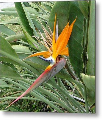 The Wilting Bird Of Paradise Metal Print