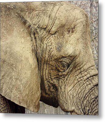 The Wise Old Elephant Metal Print by Nikki McInnes