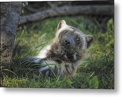The Wolverine Skunk Bear Happy Face Metal Print by LeeAnn McLaneGoetz McLaneGoetzStudioLLCcom