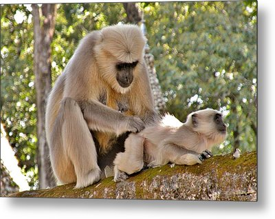 There Is Nothing Like A  Backscratch - Monkeys Rishikesh India Metal Print