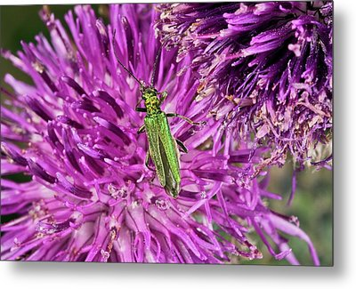 Thick-legged Flower Beetle On Knapweed Metal Print by Bob Gibbons