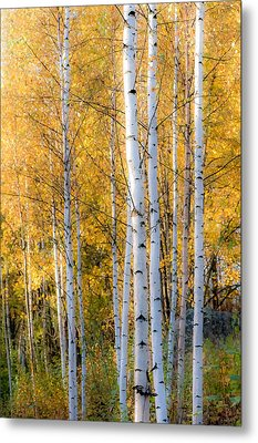 Thin Birches Metal Print