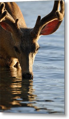 Thirsty Deer In Lake Mcdonald Metal Print