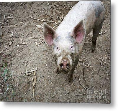 This Little Piggy Metal Print by Edward Fielding