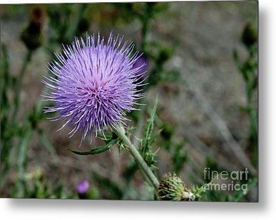 Metal Print featuring the photograph Thistle by Rod Wiens