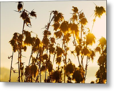 Metal Print featuring the photograph Thistles In The Sunset by Chevy Fleet