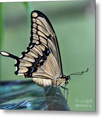 Thoas Swallowtail Butterfly Metal Print by Heiko Koehrer-Wagner