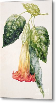 Thorn Apple Flower From Ecuador Datura Rosei Metal Print by Augusta Innes Withers
