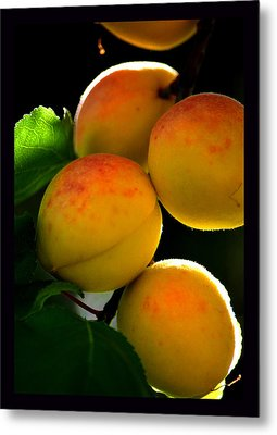 Those Glowing Golden Apricots Metal Print by Susanne Still