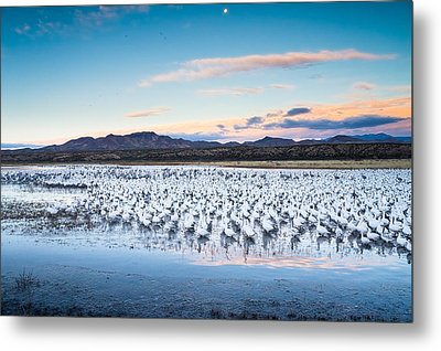 Snow Geese And Sandhill Cranes Before The Sunrise Flight - Bosque Del Apache, New Mexico Metal Print
